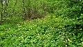 Blumenwiese Trollius europaeus.jpg