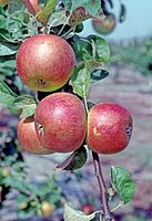 Bodikers Gold Reinette on tree, National Fruit Collection (acc. 1947-322).jpg