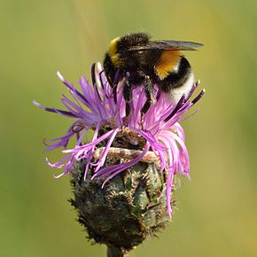 Description de l'image Bombus lucorum - Centaurea scabiosa - Keila.JPG.