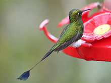Booted racket-tail Ecuador (Ocreatus underwoodii).jpg