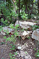 Botanic garden 8 Vitex agnus-castus.jpg