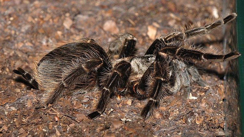 Brachypelma.albopilosum.female.jpg