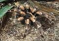 Brachypelma smithi 6.jpg