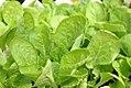 Brassica rapa amplexicaulis Rubicon 0zz.jpg
