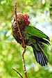 Red-fan Parrot - Photo (c) Dennis Jarvis, some rights reserved (CC BY-SA)
