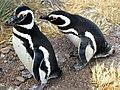 Breeding Magellanic Penguins (49777222097).jpg