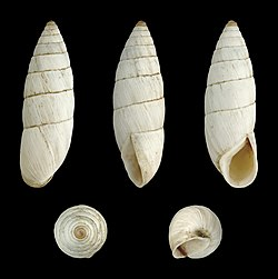 Brephulopsis cylindrica 02.JPG