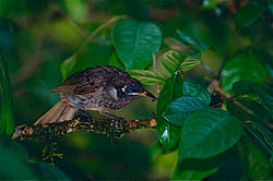 Bridled Honeyeater (Lichenostomus frenatus) (9822249726).jpg