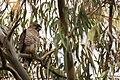Broad-winged Hawk Gavilán Bebehumo (Buteo platypterus platypterus) (24577661943).jpg