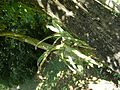 Bromélia em árvore podre.jpg