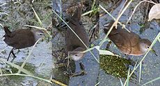 Brown Crake I copy.jpg