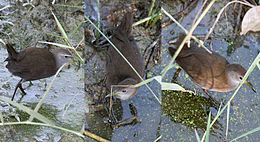 Brown Crake I copy
