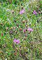 Brown Knapweed or Common Knapweed (Centaurea jacea) in Banat.jpg