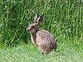 Brown hare (Lepus europaeus) (28725780366).jpg
