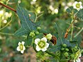 Bryonia dioica. Uves de perru (flores).jpg