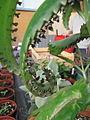 Bryophyllum (6313147907).jpg