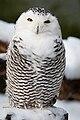 Bubo scandiacus -Dierenpark Amersfoort, Netherlands -female-8a.jpg