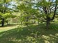 Budai Arborétum. Felső kert. Ujjas juhar vagy legyezőlevelű juhar (Acer palmatum). - Budapest.JPG