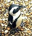 Budapest Penguin.jpg