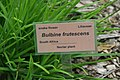 Bulbine frutescens 5zz.jpg
