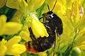 Bumblebee on a flower.jpg