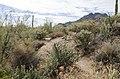 Butcher Jones Trail to Pinter's Point Loop, Tonto National Park, Saguaro Lake, Ft. McDowell, AZ - panoramio (69).jpg