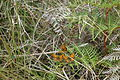 Butterflies in the Port Hills 224.JPG