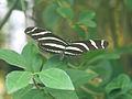 Butterfly Zebra Longwing (2765786254).jpg