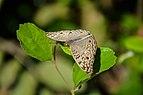 Butterfly from National Botanical Garden of Bangladesh.jpg