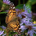 Butterfly in Algonquin Park.jpg