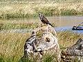 Buzzard by Loch of Kinnordy - geograph.org.uk - 1546987.jpg