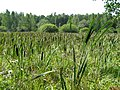 C0395-Zelyony-Gorod-swamp.jpg