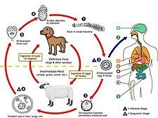 Echinococcus- životní cyklus