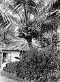 COLLECTIE TROPENMUSEUM Kokospalm met vele vruchten TMnr 10012603.jpg