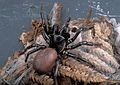 CSIRO ScienceImage 2226 A Female Funnel Web Spider.jpg