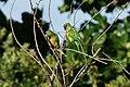 Caatinga Parakeets (Aratinga cactorum) (8227101962).jpg