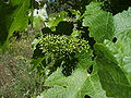 Cabernet sauvignon flowering plant Flor vinya experiment 15.06.07.JPG
