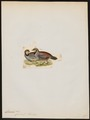 Caccabis chukar - 1820-1863 - Print - Iconographia Zoologica - Special Collections University of Amsterdam - UBA01 IZ17100289.tif