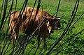 Cachena Rinder 1 41.jpg