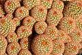 Cactaceae - Agri-Horticultural Society of India - Alipore - Kolkata 2013-02-10 4862.JPG