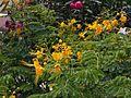 Caesalpinia p. gialla.jpg