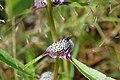 Caesulia axillaris.jpg