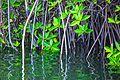 Caleta Tortuga Negra mangrove scenes - Isla Santa Cruz - (16679816485).jpg