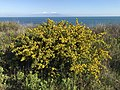 Calicotome villosa - Spiny broom 05.jpg