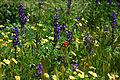 California Wildflowers (3386132276).jpg