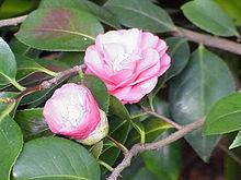 Camellia wikipedia for Piante classificazioni inferiori successive