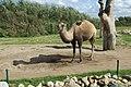 Camelus bactrianus in Dierenpark Zie-ZOO (3).jpg