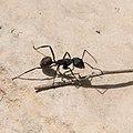 Camponotus herculeanus-Fourmi charpentière-20160424.jpg