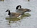 Canada Geese, Waters' Edge Park - geograph.org.uk - 337449.jpg