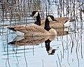 Canada Geese (51076062441).jpg